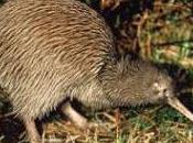 Featured Animal: Kiwi