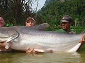 Welsh Fisherman Captures Giant Catfish
