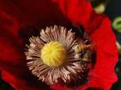 Plant Week: Papaver Somniferum