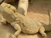 Featured Animal: Bearded Dragon