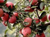 Himachal Apples Joys Orchard Living