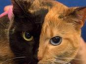 Two-Faced Venus Cats?