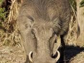 Breakfast with Warthogs Hluhluwe Game Reserve
