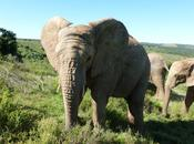 Elephants Receive More Protection