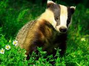 Them Badger: Badger Cull Prompts Call Barbecue Beasts