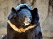 Asiatic Black Bear Identification: Strategy Studying Population Abundance