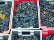 Picking Grapes 2012 Domaine Julien Cécillon