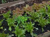 Lettuces Autumn