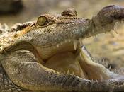 Crocodile Faces More Sensitive Than Human Fingertips