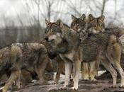 Ojibwe Members Protest Minn. Wolf Hunt