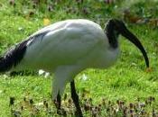 Featured Animal: Ibis