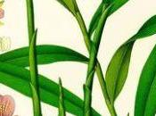 Ginger Perfumery Aromatherapy