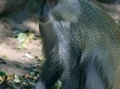 Observing Endangered Samango Monkeys iSimangaliso Wetland Park