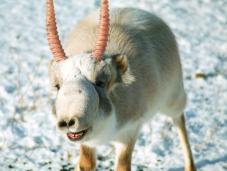 Endangered Species: Saiga Antelope