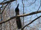 Creation: Peacock Flight