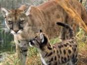 Florida Panther Deaths 2012 Record High