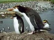 Featured Animal: Royal Penguin