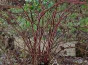 Pruning Japanese Wineberries