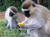 Monkey Mania: Cheeky Vervet Monkeys Uganda
