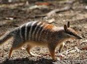 Featured Animal: Numbat