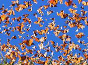 Monarch Migration Staggering Spectacle Nature