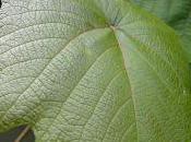 Plant Week: Vitis Coignetiae