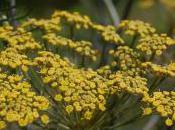 Plant Week: Foeniculum Vulgare 'Purpureum'