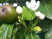 Pear Blossom??