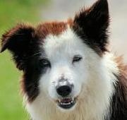 Featured Animal: Border Collie