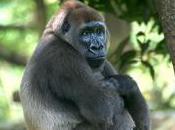 Featured Animal: Western Gorilla