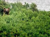 Photographing Grizzly Bear Alaska