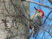 Photo Essay: Red-Bellied Woodpecker Sighting Whitby Ontario