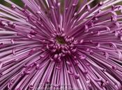 Purple Spider Mums