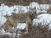 Wild Coyote Sighting Claireville Conservation Area Toronto Ontario