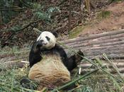 Panda Foraging Range Shift Climate Changes