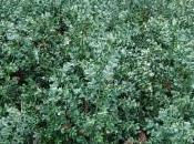 Plant Week: Ruscus Aculeatus
