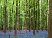 Bluebells Hallerbos, Belgium