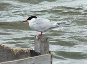 Common Terns During Storm Tommy Thompson Park Toronto