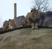 Featured Animal: Lion