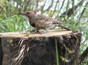 Northern Flicker Hunts Grubs Oxtongue Lake
