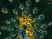 Beautiful Peacock That Isn't…Illusion. Have Fun.
