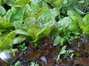 Front Garden Lettuces