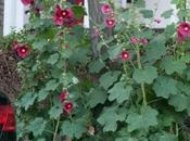 Hollyhocks Tree Pits