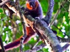 Species Monkey Discovered Pocket Amazon Forest