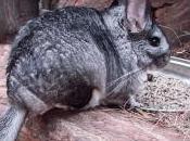 Featured Animal: Chinchilla
