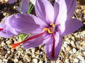 Time Plant Saffron