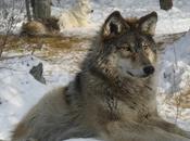 Plans Cull Grey Wolf