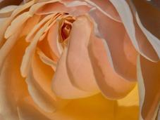 Beautiful Peach Yellow Pastel Roses