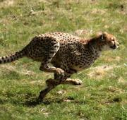 Featured Animal: Cheetah