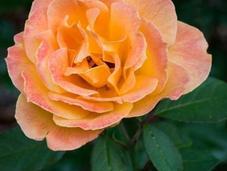 Strike Rich Tahitian Sunset Roses